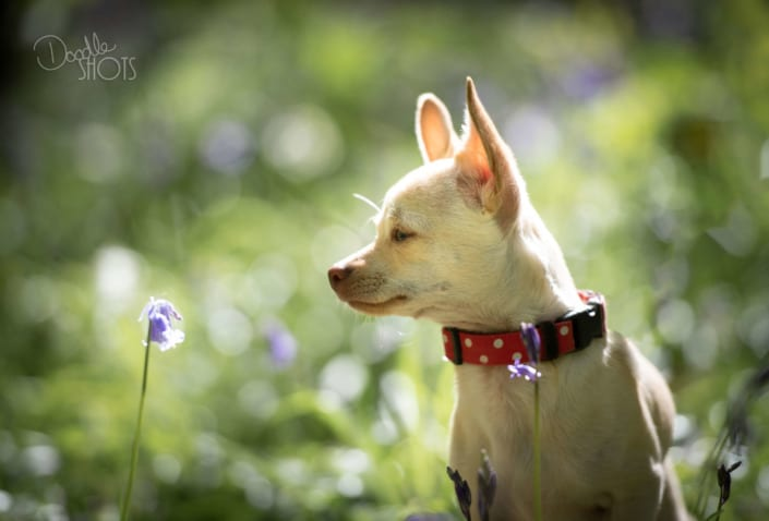 Cute Chihuahua in the bluebells