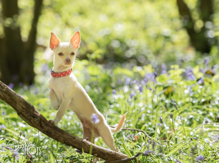 Posing Chihuahua pet photography